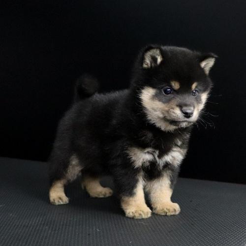 柴犬の子犬(ID:1262511660)の3枚目の写真/更新日:2019-01-16