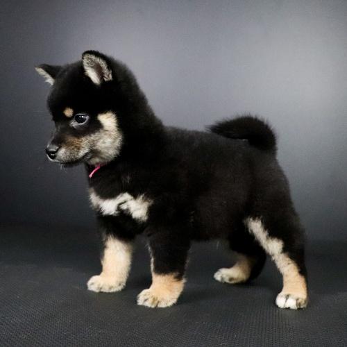 柴犬の子犬(ID:1262511661)の2枚目の写真/更新日:2019-01-16