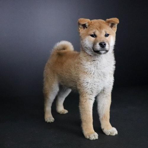 柴犬の子犬(ID:1262511662)の2枚目の写真/更新日:2019-01-14