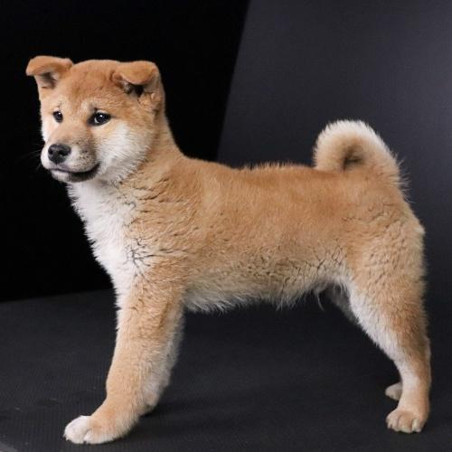柴犬の子犬(ID:1262511662)の3枚目の写真/更新日:2019-01-14