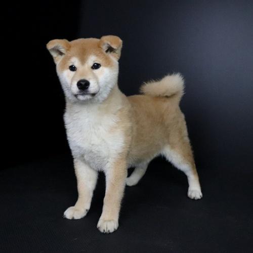 柴犬の子犬(ID:1262511663)の2枚目の写真/更新日:2019-01-10