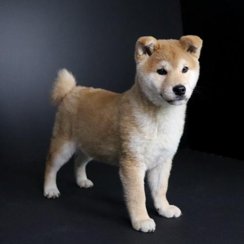 柴犬の子犬(ID:1262511663)の3枚目の写真/更新日:2019-01-10