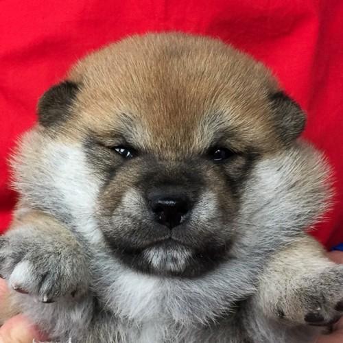 柴犬の子犬(ID:1262511664)の1枚目の写真/更新日:2018-12-29