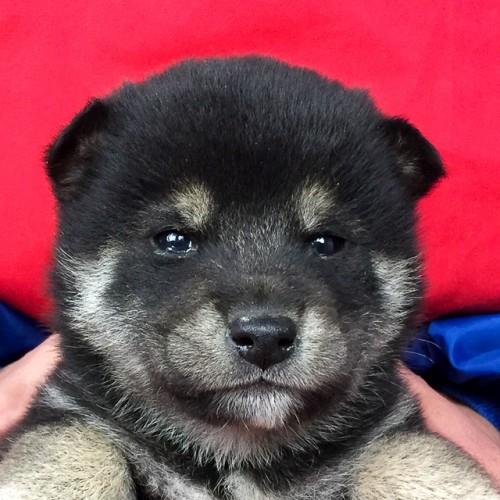柴犬の子犬(ID:1262511665)の1枚目の写真/更新日:2019-01-02
