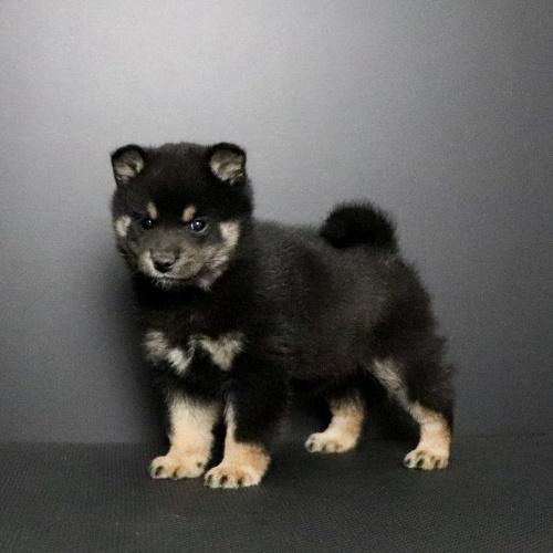 柴犬の子犬(ID:1262511668)の2枚目の写真/更新日:2019-01-16