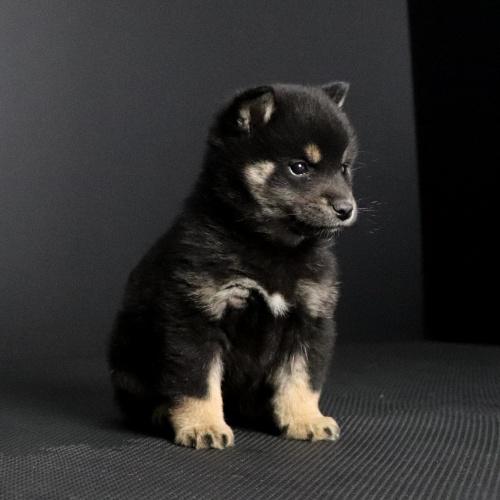 柴犬の子犬(ID:1262511668)の3枚目の写真/更新日:2019-01-16