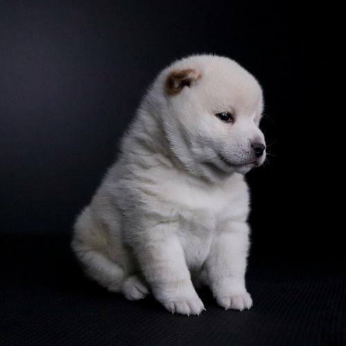 柴犬の子犬(ID:1262511670)の3枚目の写真/更新日:2019-01-15