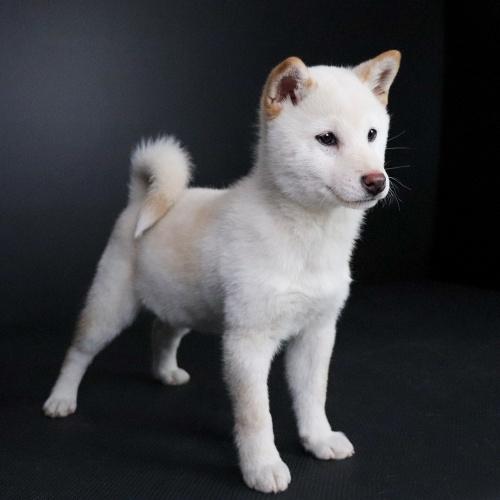 柴犬の子犬(ID:1262511671)の3枚目の写真/更新日:2019-01-17