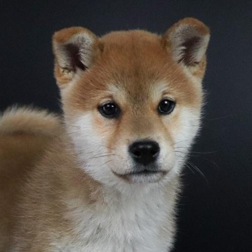 柴犬の子犬(ID:1262511672)の1枚目の写真/更新日:2019-01-17