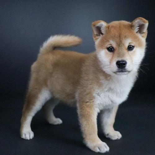 柴犬の子犬(ID:1262511672)の2枚目の写真/更新日:2019-01-17