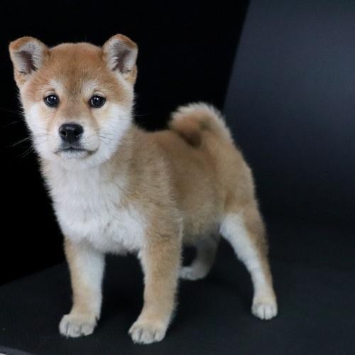 柴犬の子犬(ID:1262511672)の3枚目の写真/更新日:2019-01-17