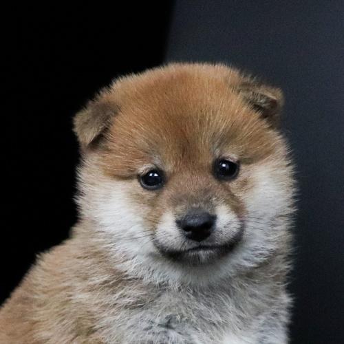 柴犬の子犬(ID:1262511673)の1枚目の写真/更新日:2019-01-17