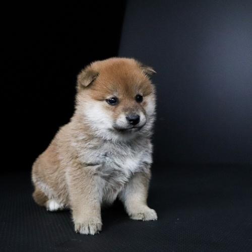 柴犬の子犬(ID:1262511673)の2枚目の写真/更新日:2019-01-17