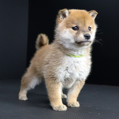 柴犬の子犬(ID:1262511674)の2枚目の写真/更新日:2019-01-17