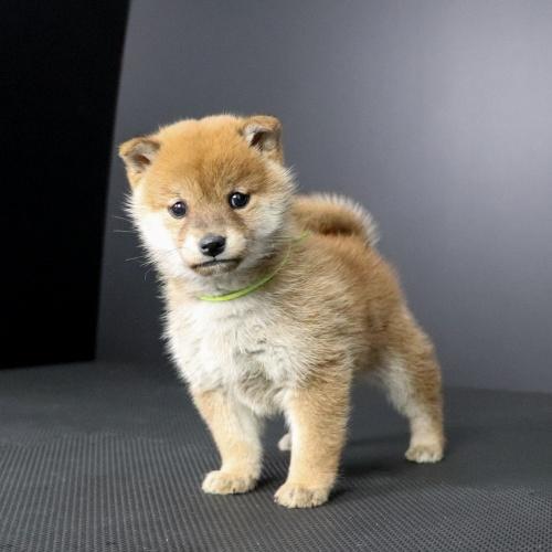 柴犬の子犬(ID:1262511674)の3枚目の写真/更新日:2019-01-17