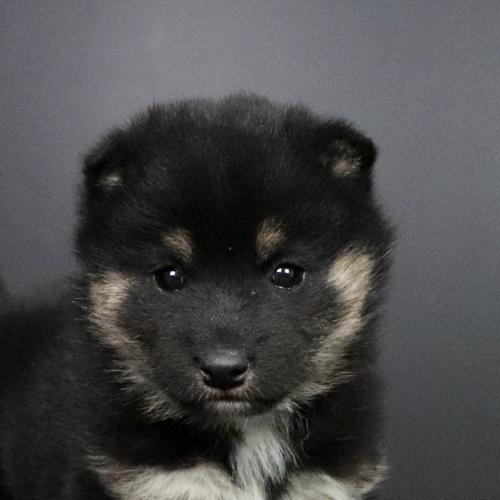 柴犬の子犬(ID:1262511682)の1枚目の写真/更新日:2019-02-04