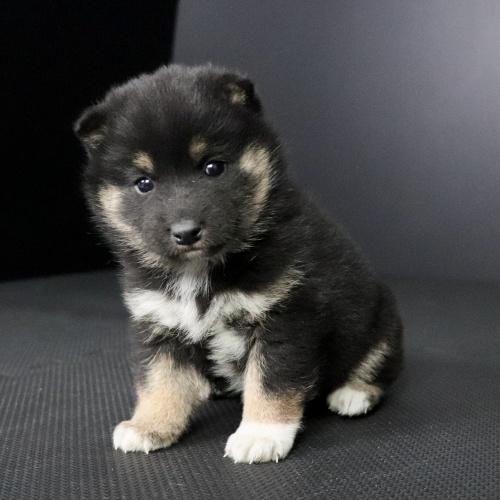 柴犬の子犬(ID:1262511682)の2枚目の写真/更新日:2019-02-04