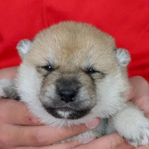 柴犬の子犬(ID:1262511683)の1枚目の写真/更新日:2019-02-10