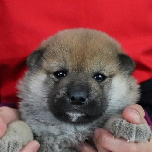 柴犬の子犬(ID:1262511684)の1枚目の写真/更新日:2019-02-10