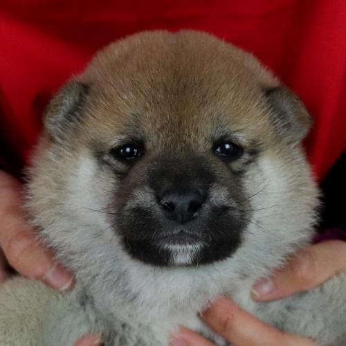 柴犬の子犬(ID:1262511685)の1枚目の写真/更新日:2019-02-10
