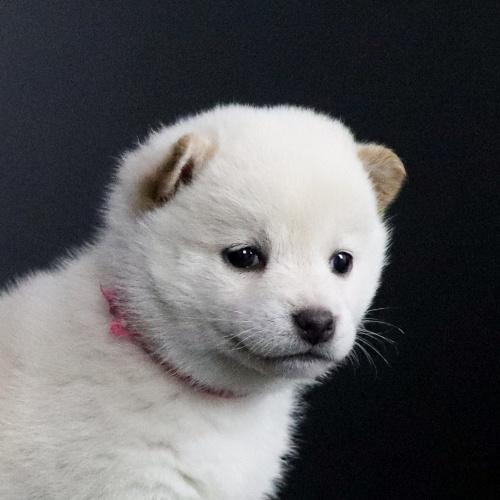 柴犬の子犬(ID:1262511689)の1枚目の写真/更新日:2019-02-12