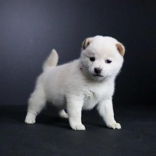 柴犬の子犬(ID:1262511689)の2枚目の写真/更新日:2019-02-12