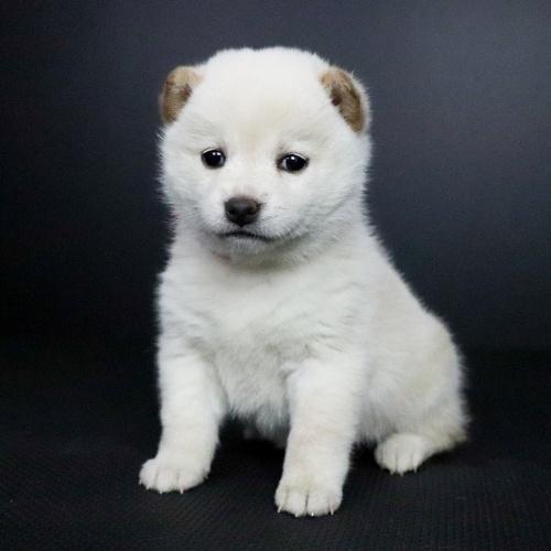 柴犬の子犬(ID:1262511689)の3枚目の写真/更新日:2019-02-12