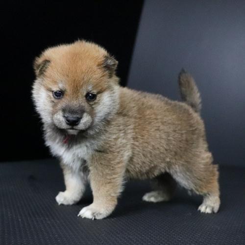 柴犬の子犬(ID:1262511691)の3枚目の写真/更新日:2019-02-13