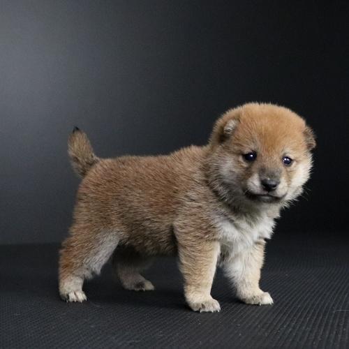 柴犬の子犬(ID:1262511692)の2枚目の写真/更新日:2019-02-13
