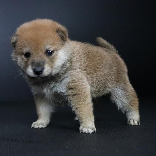 柴犬の子犬(ID:1262511692)の3枚目の写真/更新日:2019-02-13