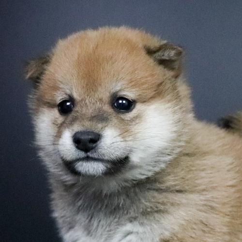 柴犬の子犬(ID:1262511696)の1枚目の写真/更新日:2019-02-15
