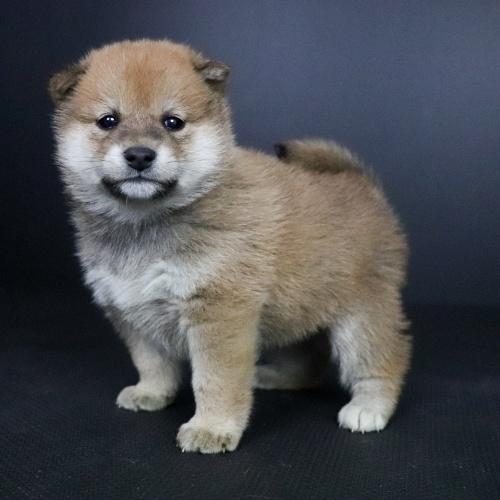 柴犬の子犬(ID:1262511696)の2枚目の写真/更新日:2019-02-15