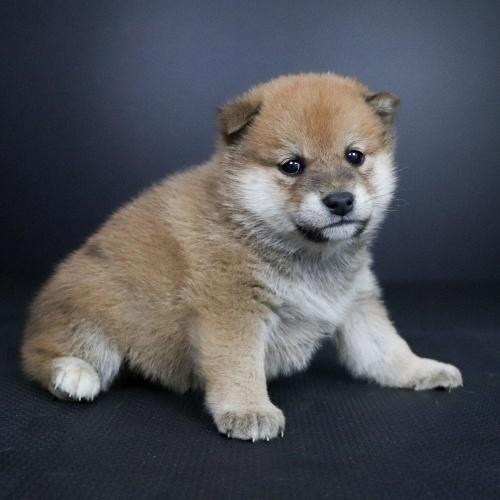 柴犬の子犬(ID:1262511696)の3枚目の写真/更新日:2019-02-15