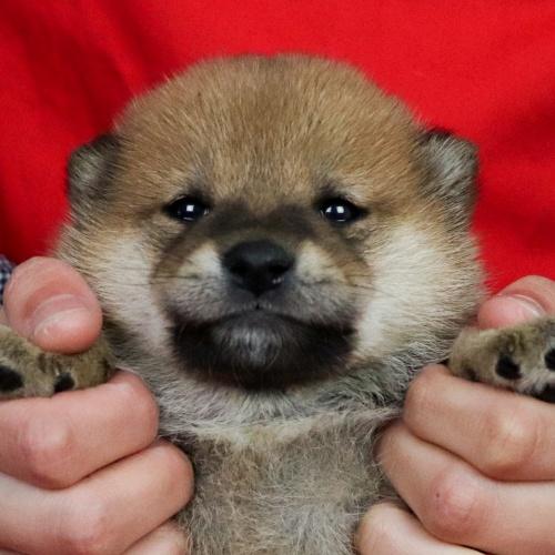 柴犬の子犬(ID:1262511697)の1枚目の写真/更新日:2019-02-15