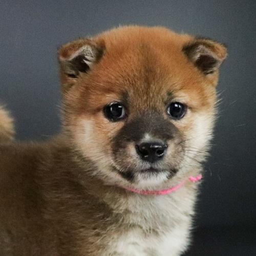 柴犬の子犬(ID:1262511698)の1枚目の写真/更新日:2019-02-15