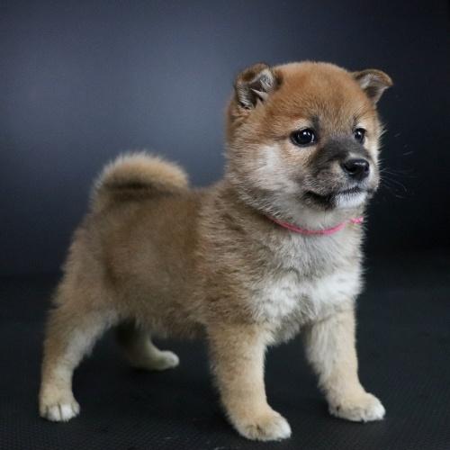 柴犬の子犬(ID:1262511698)の2枚目の写真/更新日:2019-02-15