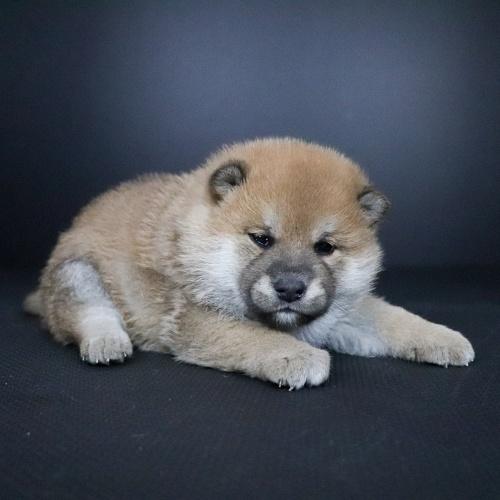 柴犬の子犬(ID:1262511700)の2枚目の写真/更新日:2019-02-16