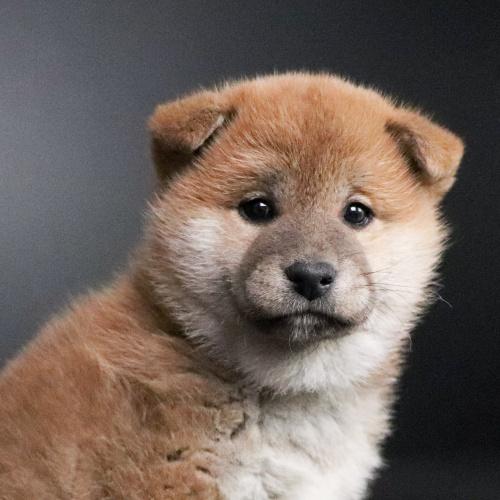 柴犬の子犬(ID:1262511701)の1枚目の写真/更新日:2019-02-16