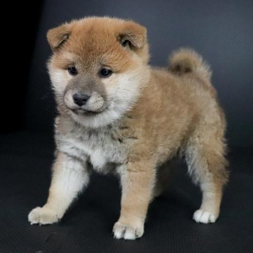 柴犬の子犬(ID:1262511701)の2枚目の写真/更新日:2019-02-16