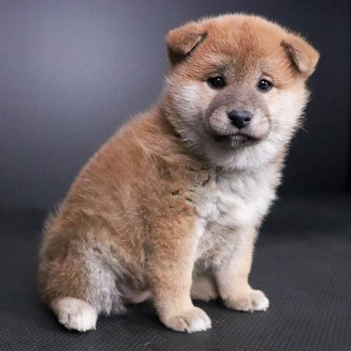 柴犬の子犬(ID:1262511701)の3枚目の写真/更新日:2019-02-16