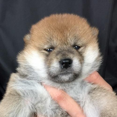 柴犬の子犬(ID:1262511732)の1枚目の写真/更新日:2019-06-14