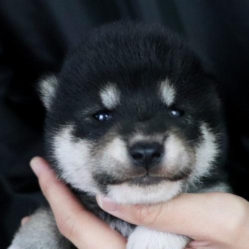 柴犬の子犬(ID:1262511735)の1枚目の写真/更新日:2019-06-14