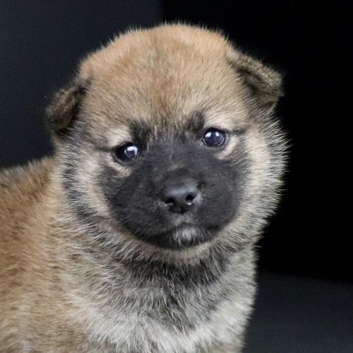 柴犬の子犬(ID:1262511749)の1枚目の写真/更新日:2019-07-13