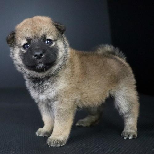 柴犬の子犬(ID:1262511749)の3枚目の写真/更新日:2019-07-13