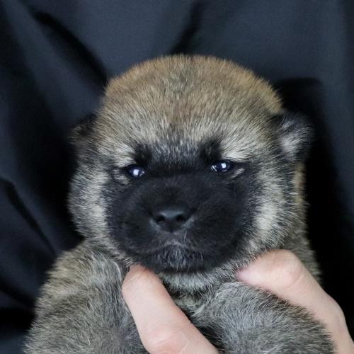柴犬の子犬(ID:1262511751)の1枚目の写真/更新日:2019-07-03