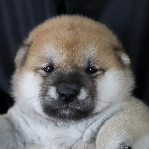 柴犬の子犬(ID:1262511752)の1枚目の写真/更新日:2019-07-08