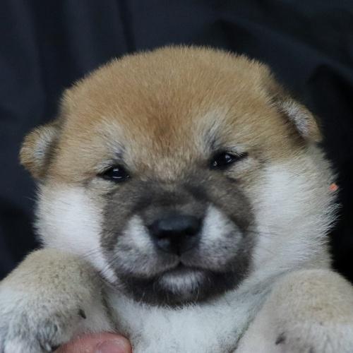 柴犬の子犬(ID:1262511753)の1枚目の写真/更新日:2019-07-08