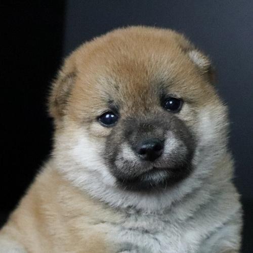 柴犬の子犬(ID:1262511754)の1枚目の写真/更新日:2019-07-08