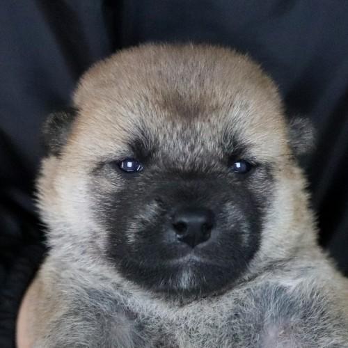 柴犬の子犬(ID:1262511755)の1枚目の写真/更新日:2019-07-15