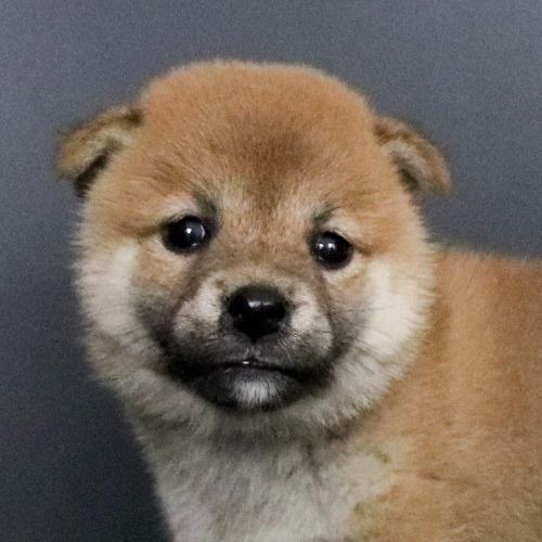 柴犬の子犬(ID:1262511756)の1枚目の写真/更新日:2019-07-15